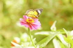 Orange zinniablomma Fotografering för Bildbyråer