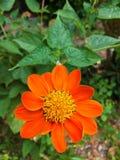 Orange zinniablomma Royaltyfri Foto