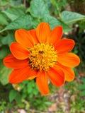 Orange zinniablomma Arkivfoton