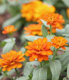 Orange zinniablommaträdgård Arkivbilder