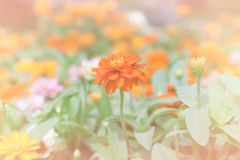 Orange zinniablommor Royaltyfria Foton