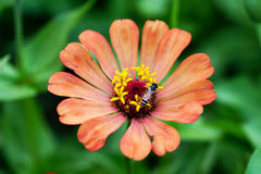 Orange Zinniablume mit Biene Stockfotos