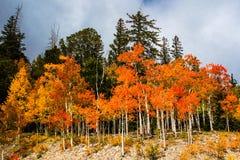 Orange Zitterpappel Lizenzfreie Stockfotografie