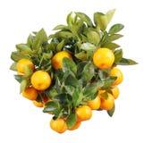 Orange Zweig Lizenzfreie Stockfotografie