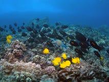 orangeband surgeonfish γεύση κίτρινη Στοκ φωτογραφία με δικαίωμα ελεύθερης χρήσης