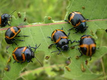 Orangebeetles Photos libres de droits