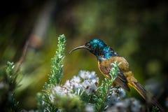 Orangebreasted sunbird 非洲著名kanonkop山临近美丽如画的南春天葡萄园 库存照片
