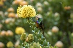 Orangebreasted Sunbird drinking nectar of a Pincushion stock image