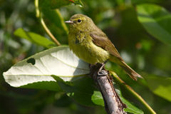 Orangecrowned Warbler Stock Photography