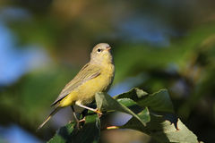 Orangecrowned Warbler Stock Photos