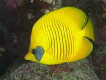 Orangeface butterflyfish. In Red sea royalty free stock photography