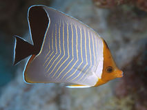 Orangeface butterflyfish Stock Photos