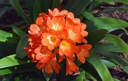 Orangefarbene Gruppe Trompete-förmigen Blumen Clivia-miniata stockbild