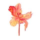 Orangefarbene Tulpe, Aquarell Stockfotografie