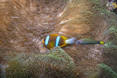 Orangefin Anemonefish και Wrasse Στοκ Φωτογραφίες