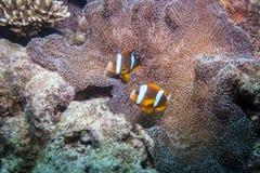Orangefin Anemonefish Στοκ εικόνα με δικαίωμα ελεύθερης χρήσης