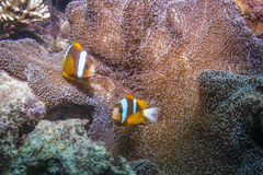 Orangefin Anemonefish Στοκ Εικόνα