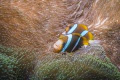 Orangefin Anemonefish Στοκ Φωτογραφίες