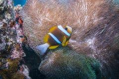 Orangefin Anemonefish Στοκ Εικόνες