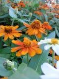 orangeflower Стоковые Изображения RF