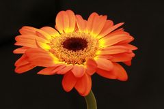 Orangegelbe Farbblume Lizenzfreie Stockbilder