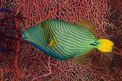 Orangelined triggerfish Arkivbild