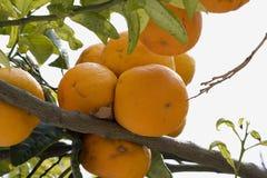 Orangen lizenzfreie stockfotos