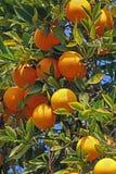 Orangen Lizenzfreies Stockbild