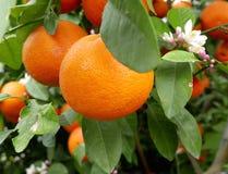 Orangen auf Baum lizenzfreie stockbilder