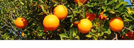 Orangen auf Baum Lizenzfreies Stockfoto