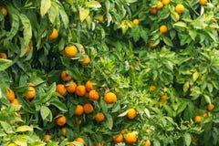Orangen auf Baum Lizenzfreie Stockfotos