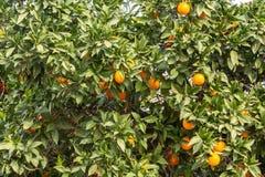 Orangen auf Baumasten lizenzfreie stockfotografie