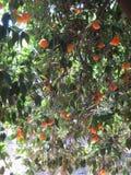 Orangen auf einem Baum Lizenzfreie Stockbilder