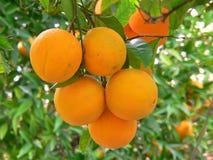 Orangen auf einem Baum Stockbild