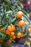 Orangen auf einem Baum stockfotografie