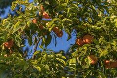 Orangen auf einem Baumgrünrahmen Lizenzfreies Stockfoto
