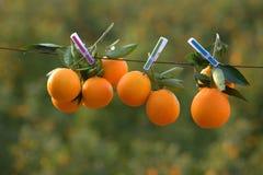 Orangen auf einem Seil Stockbild