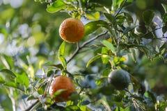 Orangen in der Naturgartenfrucht stockfotos