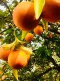 Orangen, die am Baum hängen Stockfotografie