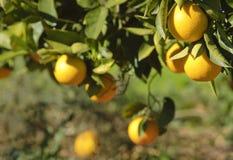 Orangen, die an einem Baum hängen Stockfoto