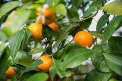 Orangen, die von den orange Baumasten hängen lizenzfreie stockfotos