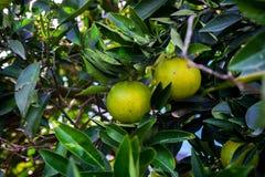 Orangen hängen am Baum aber noch am Grün und an nicht süßem stockfoto