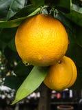 Orangen im Regen Lizenzfreie Stockfotos