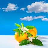 Orangen mit orange Blüte blüht blauen Himmel Lizenzfreies Stockfoto