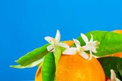 Orangen mit orange Blütenblumen auf Blau Stockbilder
