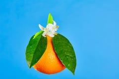 Orangen mit orange Blütenblumen auf Blau Lizenzfreies Stockfoto