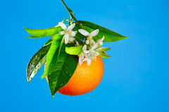 Orangen mit orange Blütenblumen auf Blau Lizenzfreie Stockbilder