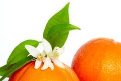 Orangen mit orange Blütenblumen auf Weiß Lizenzfreies Stockfoto