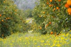 Orangen Orange Garten Stockfotos