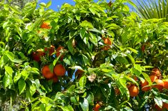Orangen reiften in einem Baum gegen blauen Himmel stockfoto